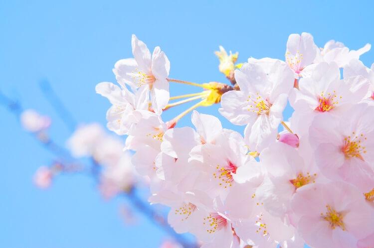 일본 벚꽃 개화시기